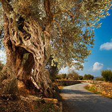 Casa rural olivos milenarios