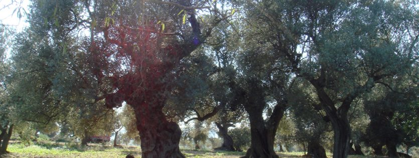 Olivos milenarios de Sant Mateu