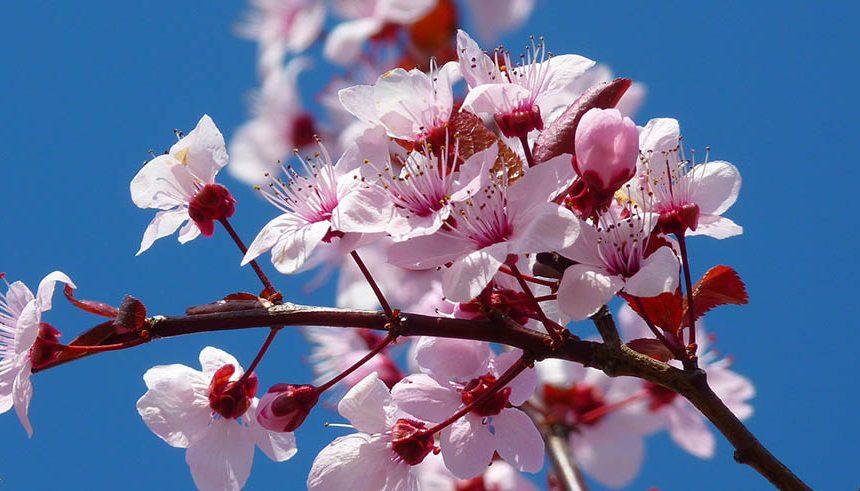 Almendros en flor Castellón