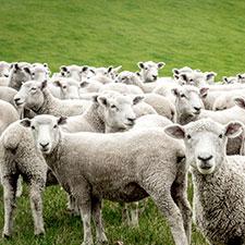 granja-de-ovejas-turimaestrat